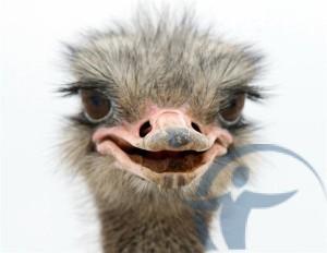 Страхование страусиных ферм